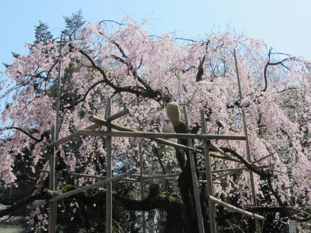 大國魂神社の桜。